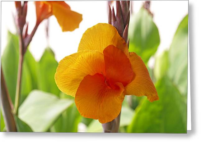 Canna Greeting Cards - Orange Field Greeting Card by James Granberry