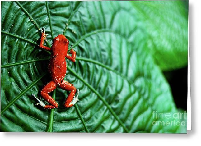 Thin Greeting Cards - Orange frog 2 Greeting Card by Cesar Marino