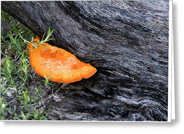 Orange Fungus - Canberra - Australia Greeting Card by Steven Ralser