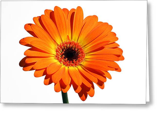 Flower Photos Greeting Cards - Orange Gerber Daisy Perfection Greeting Card by Juergen Roth