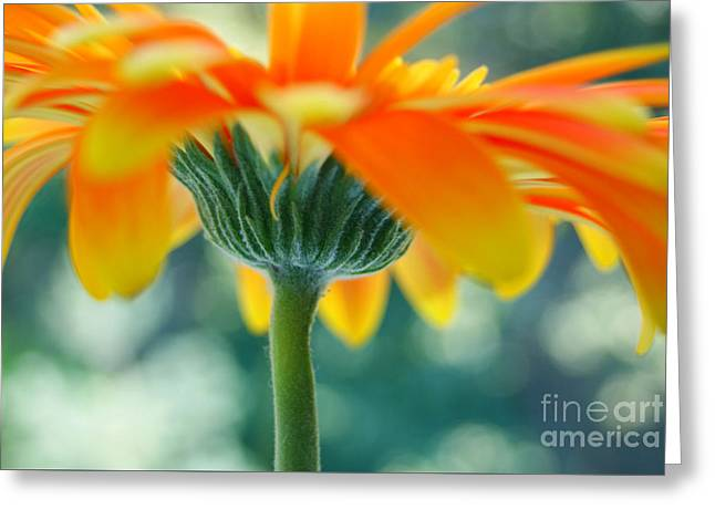 Orange Gerbera Greeting Card by SK Pfphotography