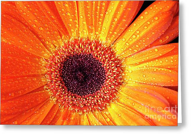 Angelini Greeting Cards - Orange Gerbera visit www.AngeliniPhoto.com for more Greeting Card by Mary Angelini