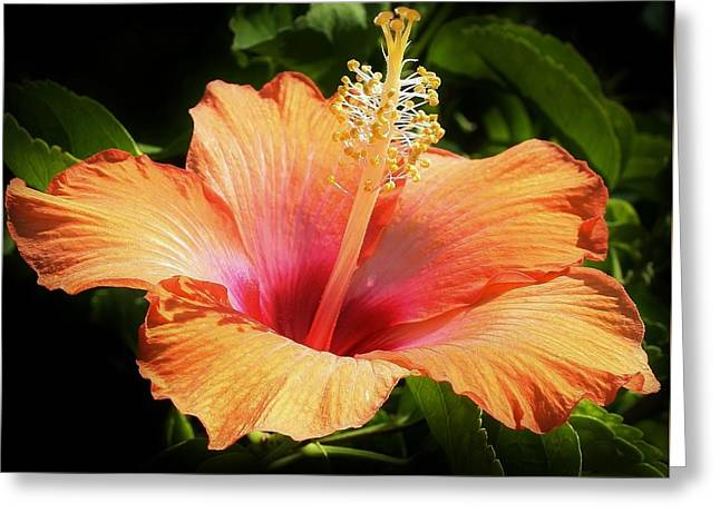 Botanical Greeting Cards - Orange Hibiscus Greeting Card by Bruce Bley