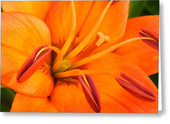 Domesticated Flower Greeting Cards - Orange II Greeting Card by Amanda Kiplinger