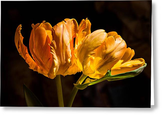 Orange Parrot Tulips 1 Greeting Card by Fiona Craig