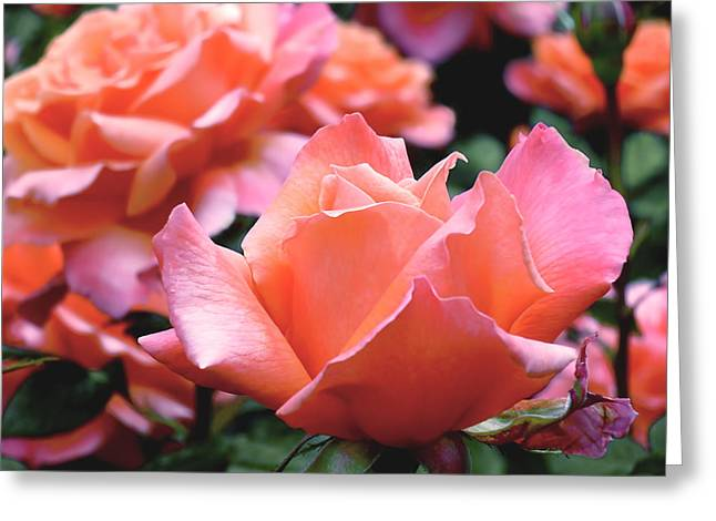 Orange-pink Roses  Greeting Card by Rona Black