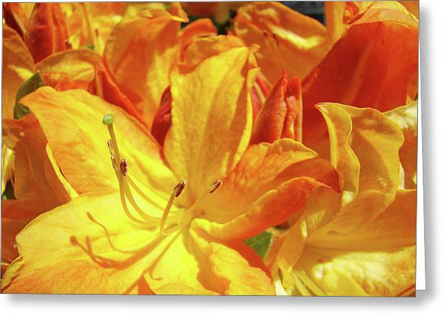 Pink Rhodies Greeting Cards - Orange Rhodies Flowers art Rhododendron Baslee Troutman Greeting Card by Baslee Troutman