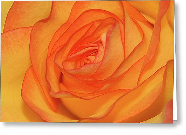 Giclée Fine Art Greeting Cards - Orange Rose Greeting Card by Graham Taylor