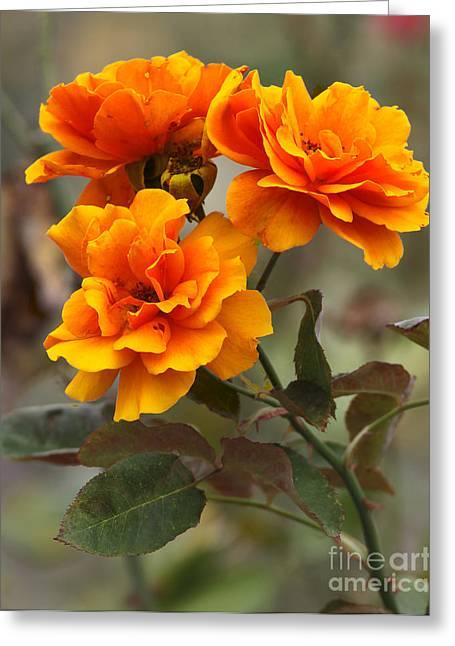 Petal Greeting Cards - Orange Rose Greeting Card by Jacqui Martin