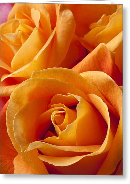 Fragrance Greeting Cards - Orange Roses Greeting Card by Garry Gay