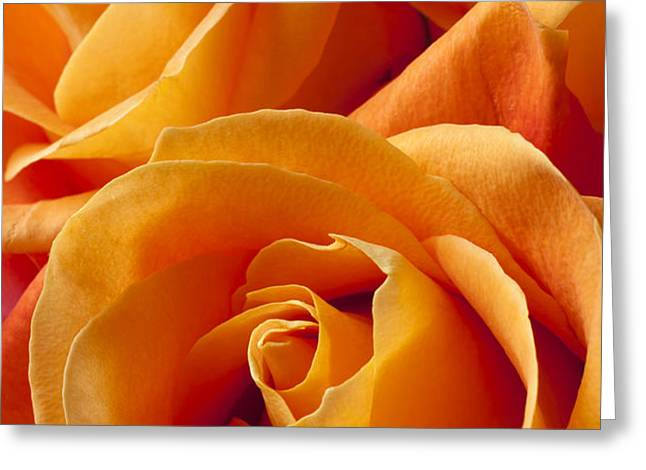 Orange Roses Greeting Card by Garry Gay
