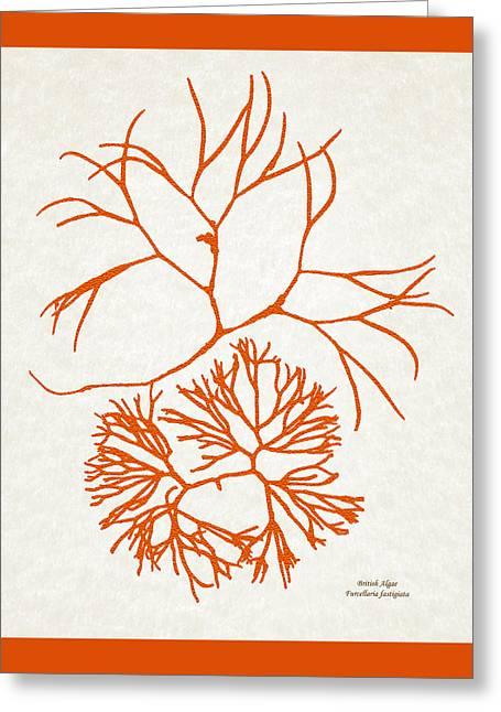 Orange Seaweed Marine Art Furcellaria Fastigiata Greeting Card by Christina Rollo