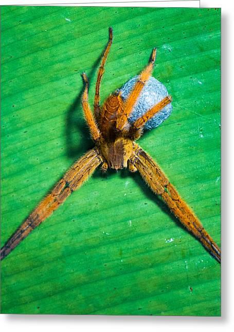 Orange Spider On Leaf, Sarapiqui, Costa Greeting Card by Panoramic Images