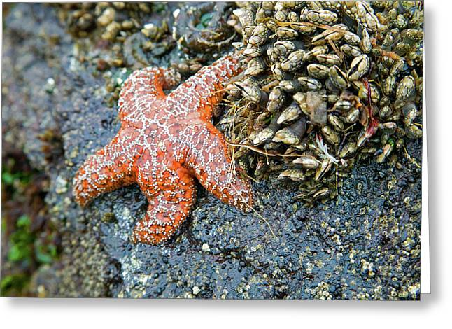 Orange Starfish Greeting Cards - Orange Starfish Greeting Card by Randall Ingalls