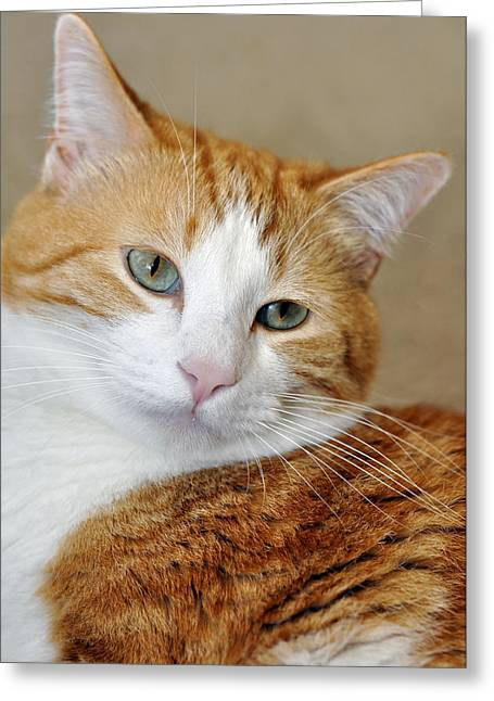 Orange Tabby  Reflective Greeting Card by Laura Mountainspring
