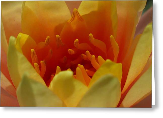 Lilly Pads Greeting Cards - Orange Water Lily  Greeting Card by Juergen Roth