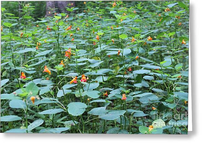 Missouri Orange Wildflower, Jewel Weed, Imaptiens Capensis Greeting Card by Adam Long