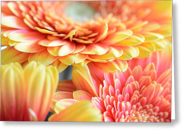 Orange Yellow Pink Gerberas Greeting Card by SK Pfphotography