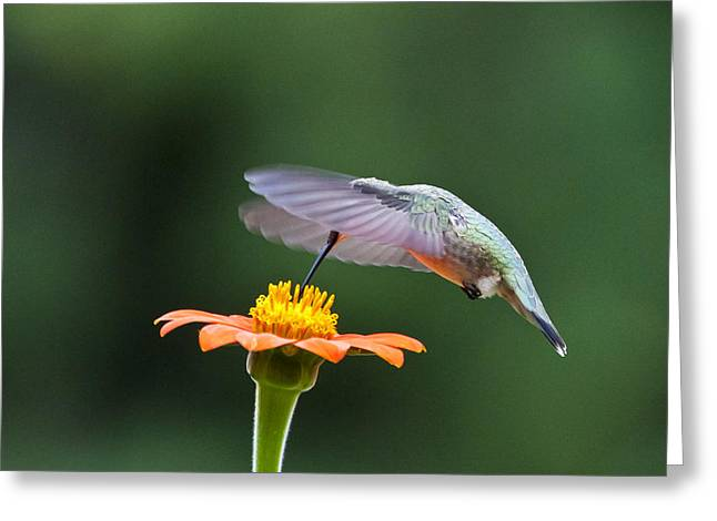 Ruby Throated Hummingbird Wall Art Greeting Cards - Orange You Sweet Greeting Card by Dick Jones