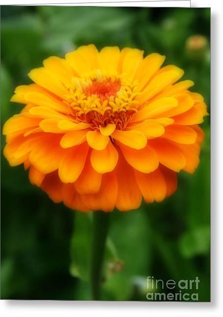 Greeting Cards - Orange Zinnia Greeting Card by Kay Novy