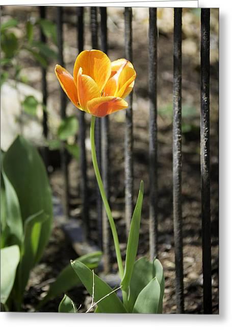 Spring Bulbs Greeting Cards - Orangey Tulip Greeting Card by Teresa Mucha