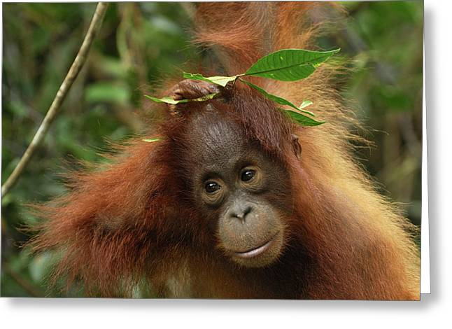 Orang-utans Greeting Cards - Orangutan Pongo Pygmaeus Baby, Camp Greeting Card by Thomas Marent