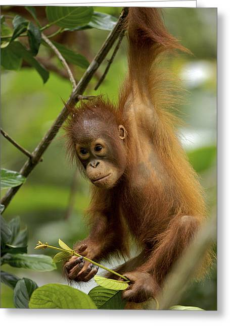 Orang-utans Greeting Cards - Orangutan Pongo Pygmaeus Baby Swinging Greeting Card by Christophe Courteau