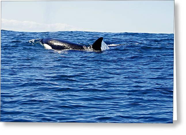 Orca Greeting Card by Marilyn Wilson