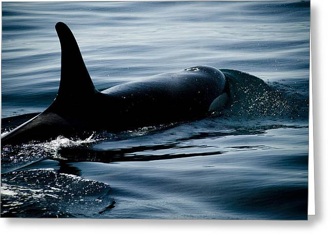 Whale Watching Greeting Cards - Orca Whale Greeting Card by Craig Perry-Ollila