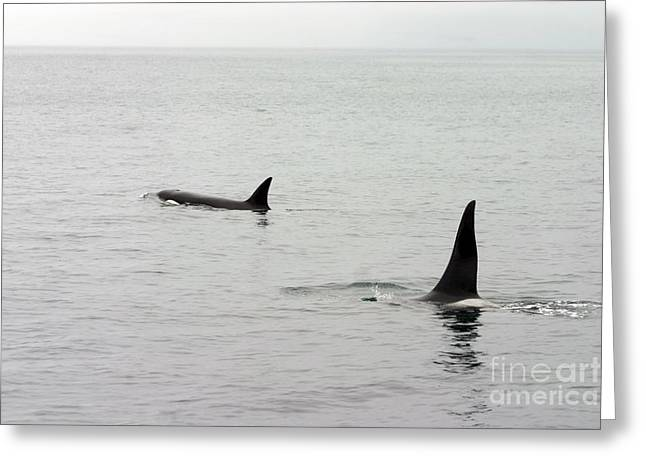 Ocean Mammals Greeting Cards - Orcas Greeting Card by Donna Cain
