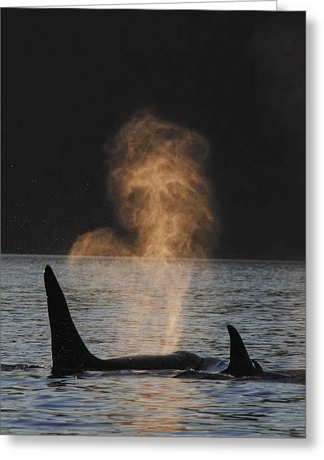 Orcas Ocinus Orca Spouting Alaska Greeting Card by Hiroya Minakuchi