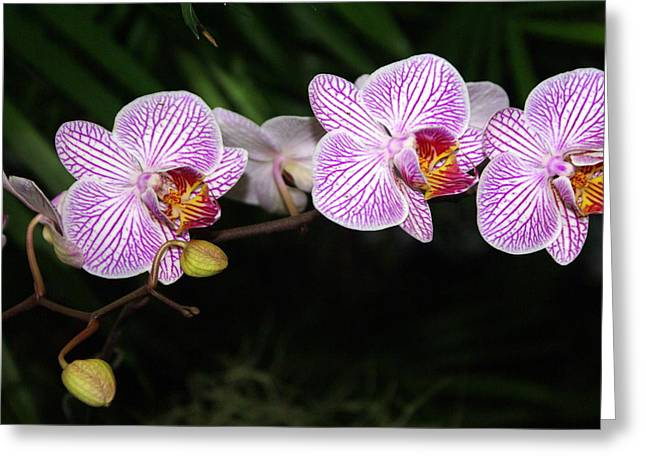Orchid 2 Greeting Card by Marty Koch