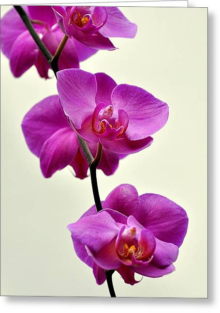 Marty Koch Photographs Greeting Cards - Orchid 26 Greeting Card by Marty Koch