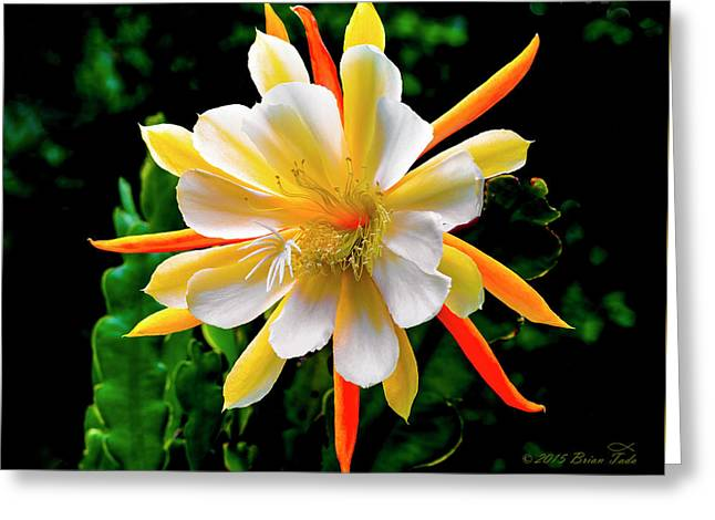 Orchid Cactus Greeting Cards - Orchid Cactus Epiphyllum Greeting Card by Brian Tada