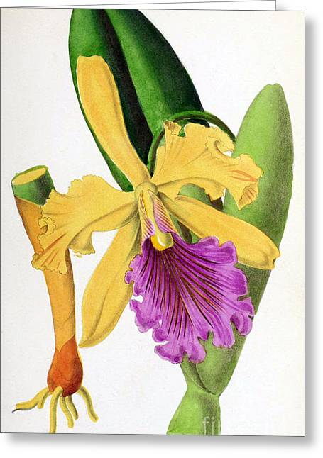 Cattleya Photographs Greeting Cards - Orchid, Cattleya Dowiana, 1880 Greeting Card by Biodiversity Heritage Library