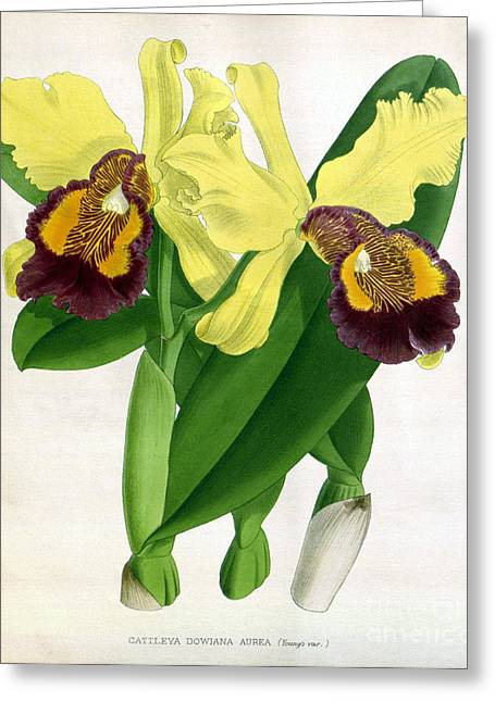 Cattleya Photographs Greeting Cards - Orchid, Cattleya Dowiana Aura, 1891 Greeting Card by Biodiversity Heritage Library