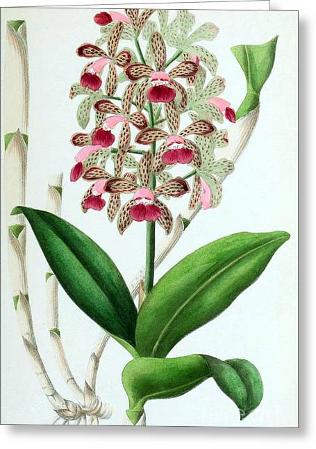Cattleya Photographs Greeting Cards - Orchid, Cattleya Guttata Leopoldi, 1880 Greeting Card by Biodiversity Heritage Library