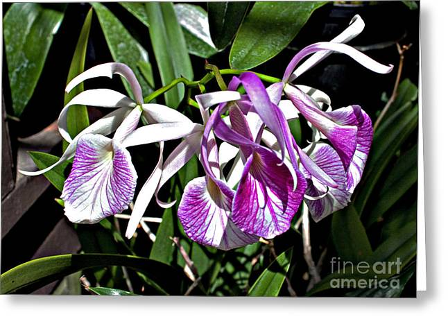 Pinks And Purple Petals Greeting Cards - Orchid Cluster Greeting Card by Robert Sander