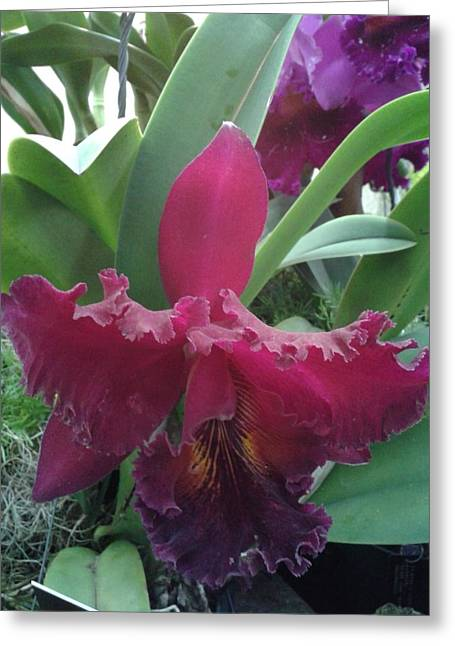 Botanical Greeting Cards - Orchid Deep Purple Greeting Card by Milagros Phillips