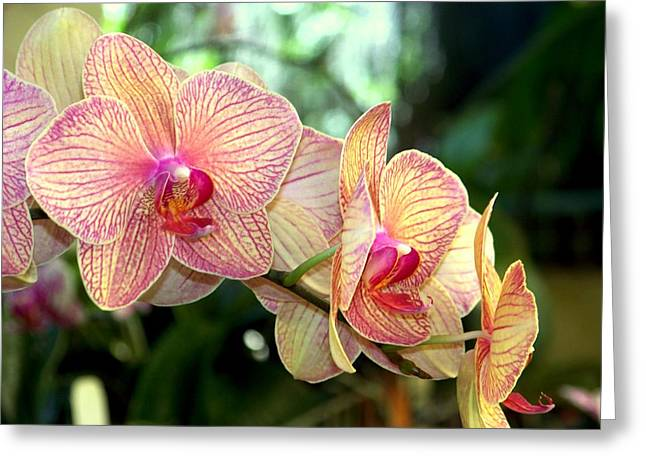 Golden Pink Orchid Greeting Cards - Orchid Delight Greeting Card by Karen Wiles