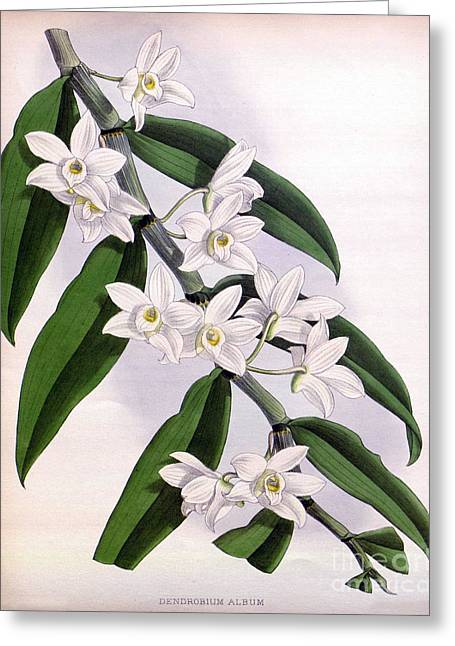 Dendrobium Greeting Cards - Orchid, Dendrobium Album, 1891 Greeting Card by Biodiversity Heritage Library