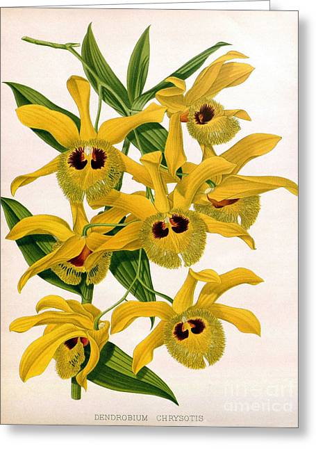 Dendrobium Greeting Cards - Orchid, Dendrobium Chrysotis, 1891 Greeting Card by Biodiversity Heritage Library