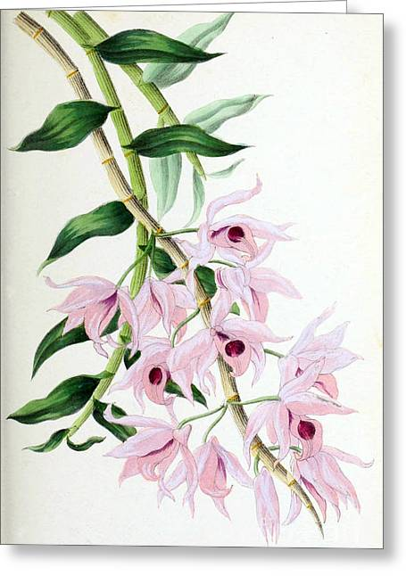 Dendrobium Greeting Cards - Orchid, Dendrobium Macrophyllum, 1880 Greeting Card by Biodiversity Heritage Library