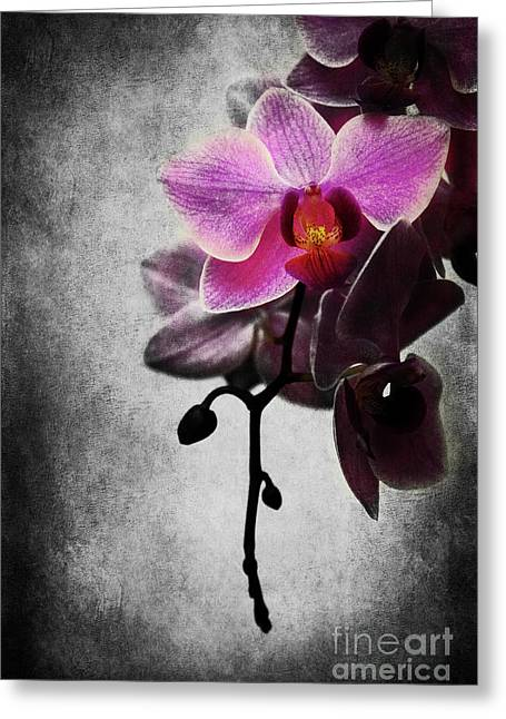 Hannes Cmarits Greeting Cards - orchid IV Greeting Card by Hannes Cmarits