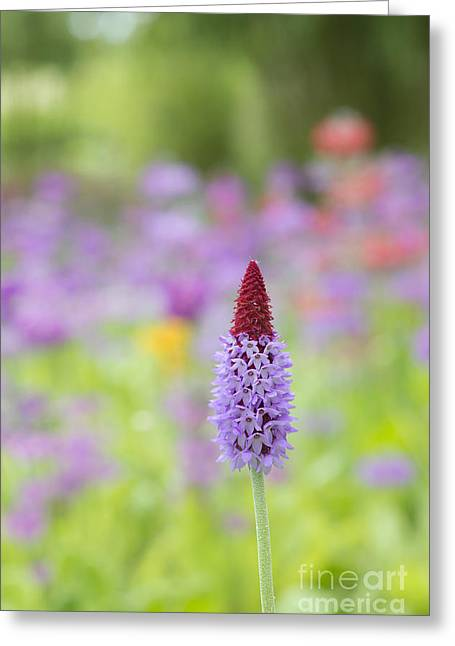 Orchid Primrose Flower Greeting Card by Tim Gainey