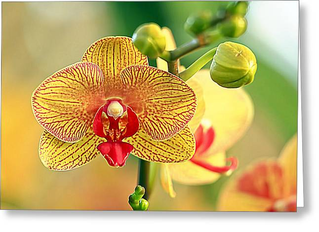 Orchid Show Greeting Card by Geraldine Scull