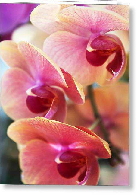 Orchid Trio Greeting Card by Jessica Jenney