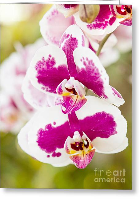 Orchid Wings Greeting Card by A New Focus Photography