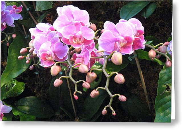 Tropical Plants Greeting Cards - Orchids Greeting Card by Marsha Elliott