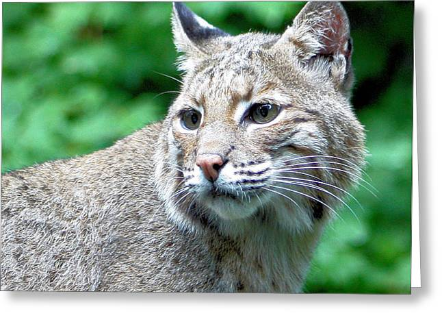 Oregon Bobcat Greeting Card by Nick Gustafson